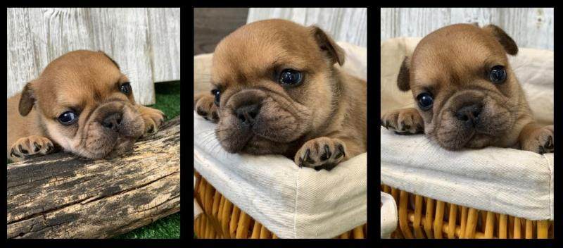 French Bulldogs | Calico Puppy Ranch in Anderson, MO