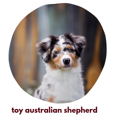 Click here to view our Toy Australian Shepherds
