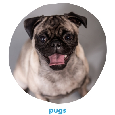 Click here to view our Pugs!