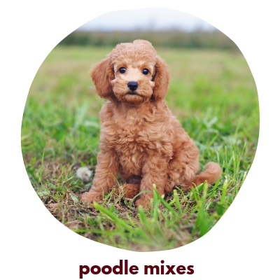 Click here to view our Toy Poodles!